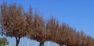 Daños en el Ficus por frío