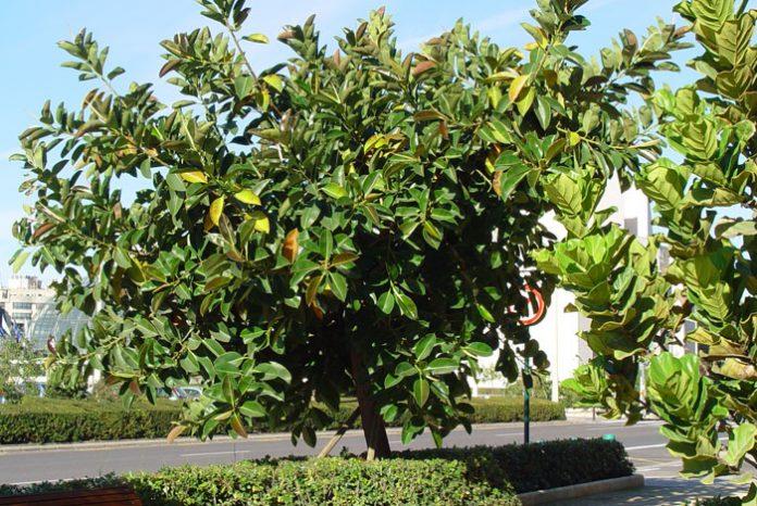Ficus robusta y Ficus lirata
