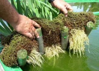 fitodepuración con plantas macrófitas