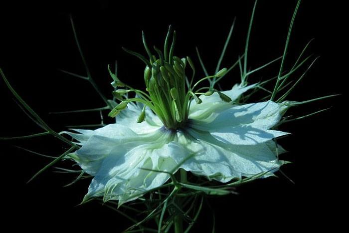 Flor de comino negro
