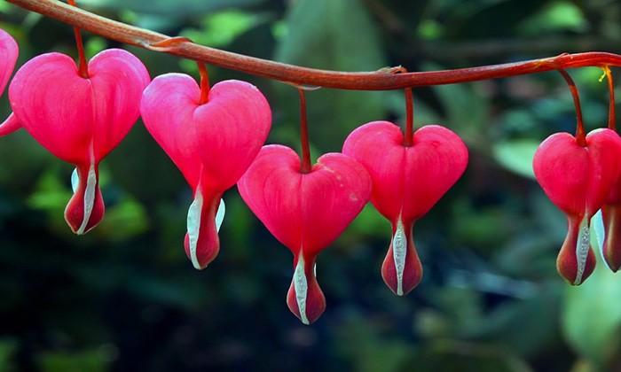 flor Corazón sangrante