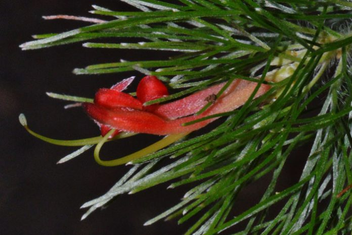 Flor de Adenanthos sericeus