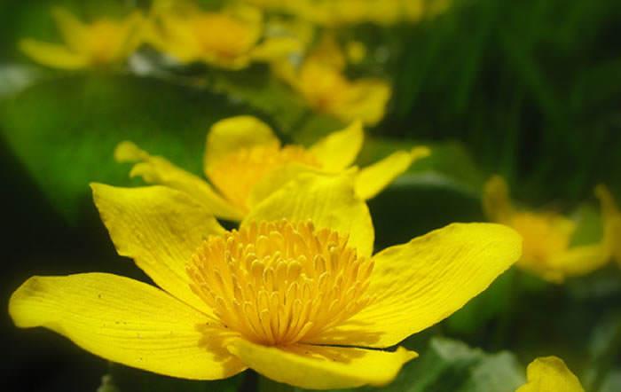 flor de caltha palustris