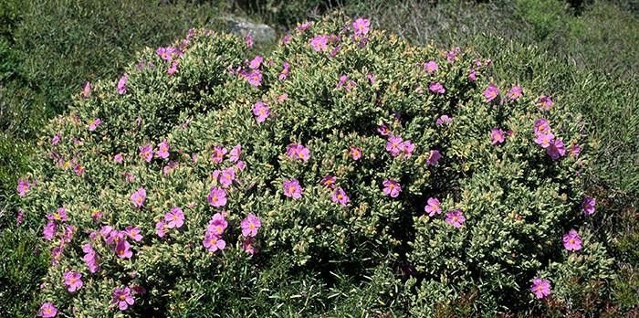 Planta de Cistus albidus