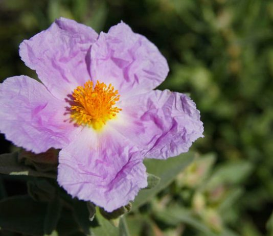 Flor de Cistus albidus