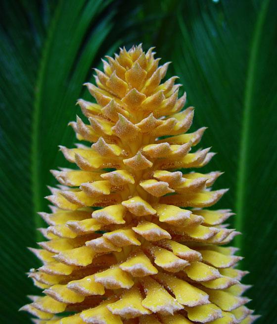 Flor de Cyca revoluta masculina