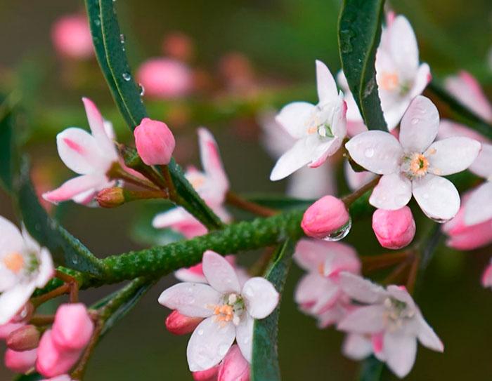 Flor de Eriostemon myoporoides