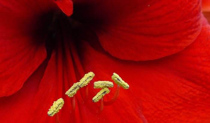 Flor de Hippeastrum