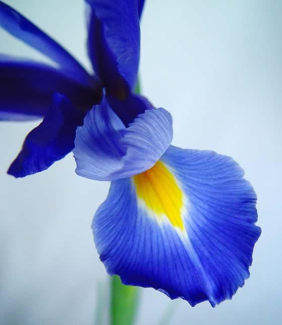 Lirio Español o Iris xiphium