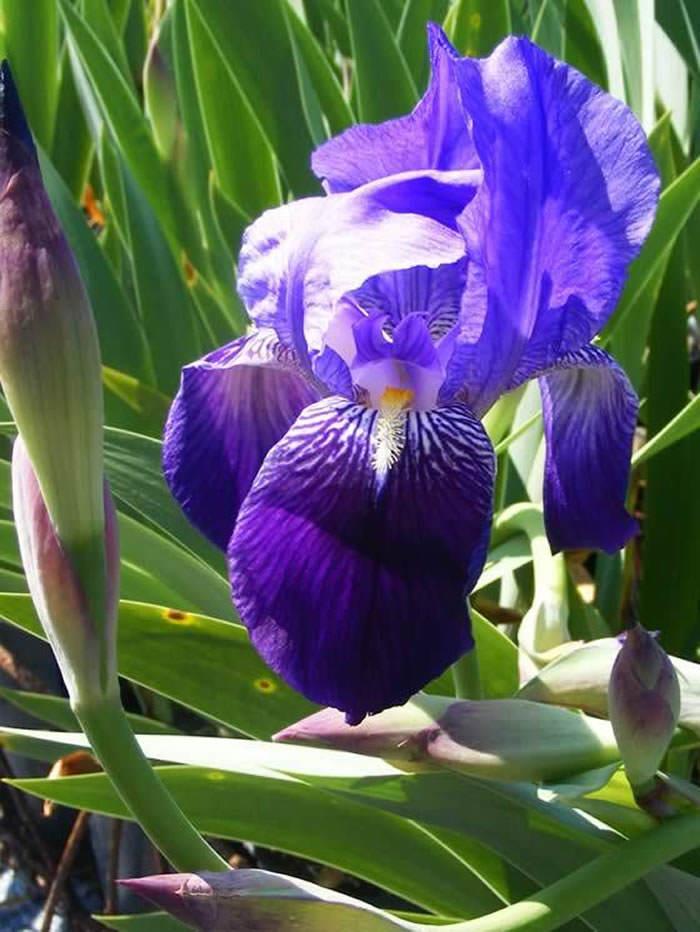 flor de iris germanica