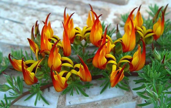 flor de lotus maculatus