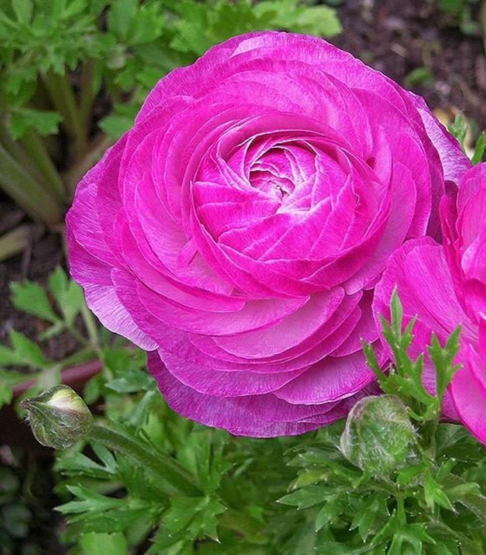 flor de ranunculo