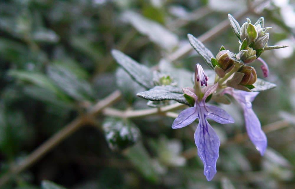 flor de romero azul