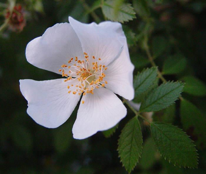 flor de Rosa canina