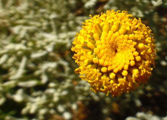 Flores de Santolina