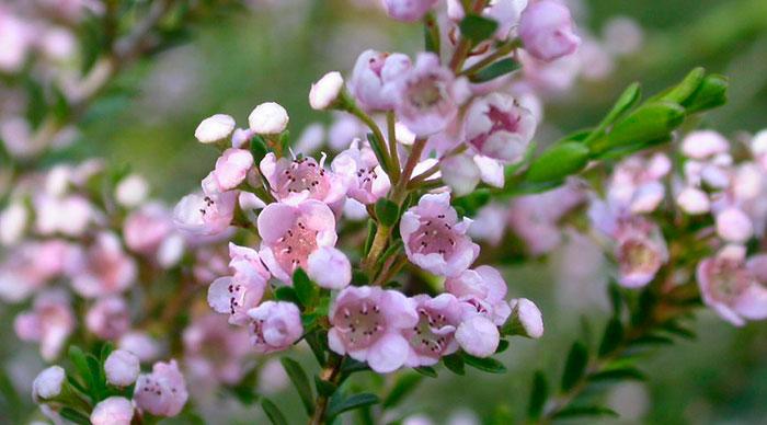 Flor de Thryptomene saxicola