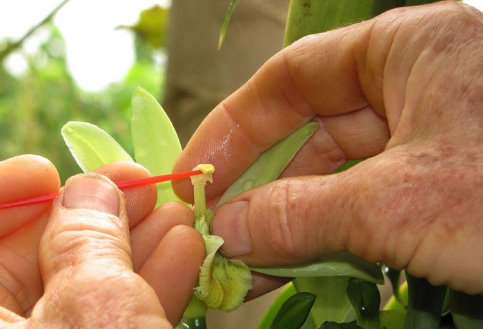 Cultivo de la Vanilla planifolia