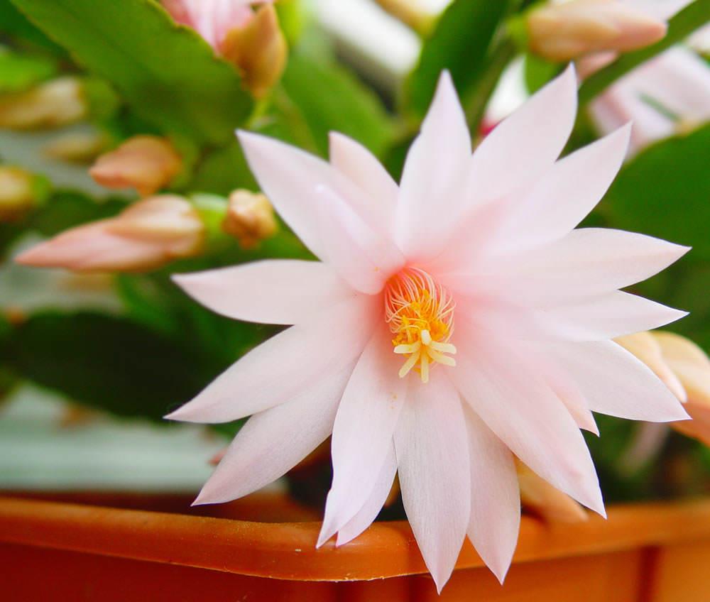 flor epiphyllum
