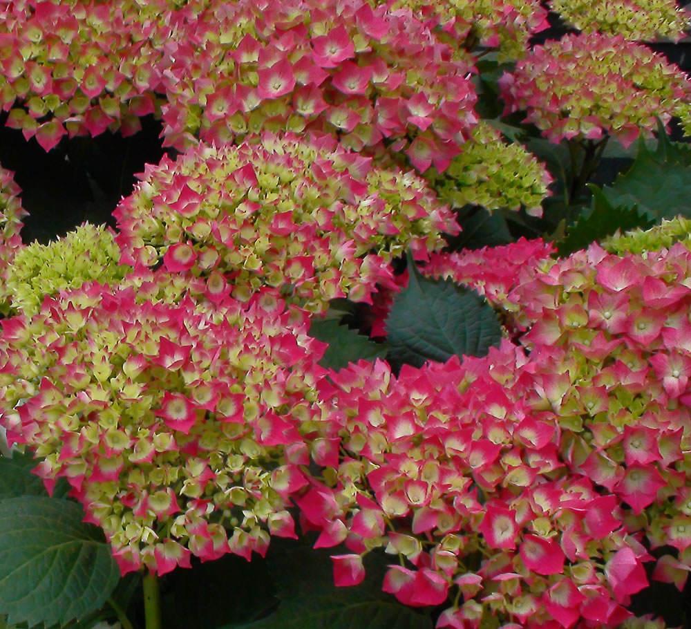 Flor de hortensia planta flor verde hortensia flores for Plantar hortensias semillas