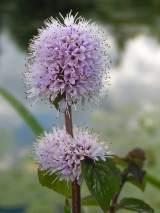 flor mentha aquatica