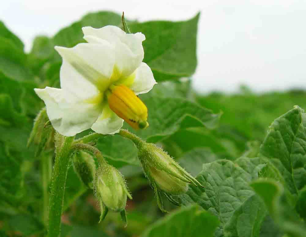 flor patata