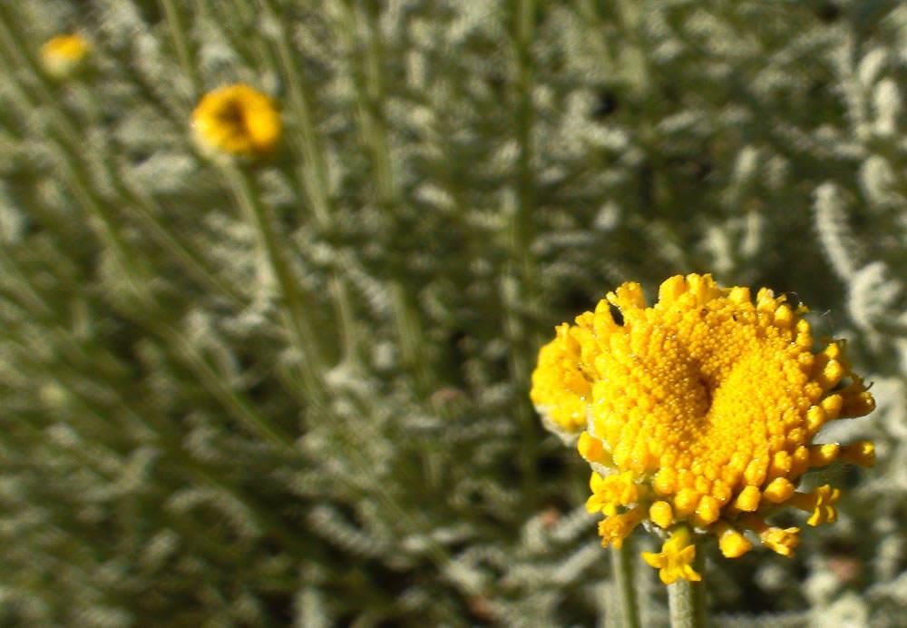 Flor santolina