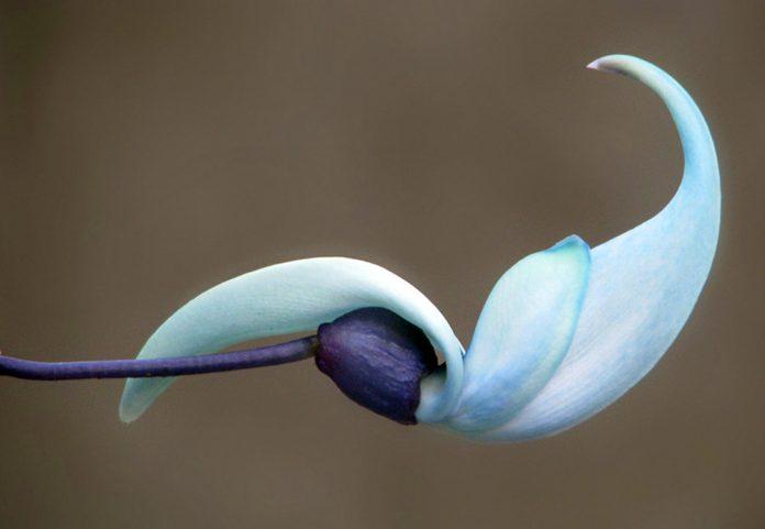 flor de Strongylodon macrobotrys