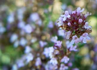 flor tomillo