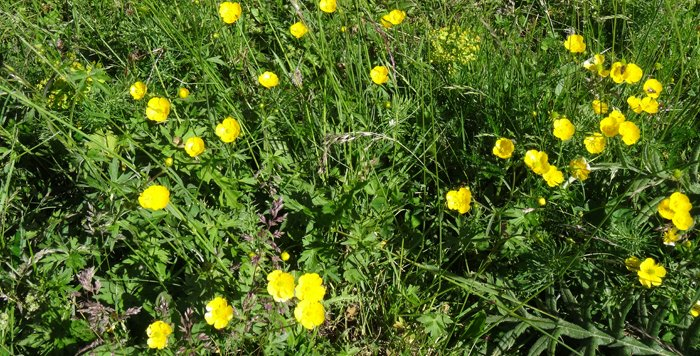 Flores de junio en Ordesa