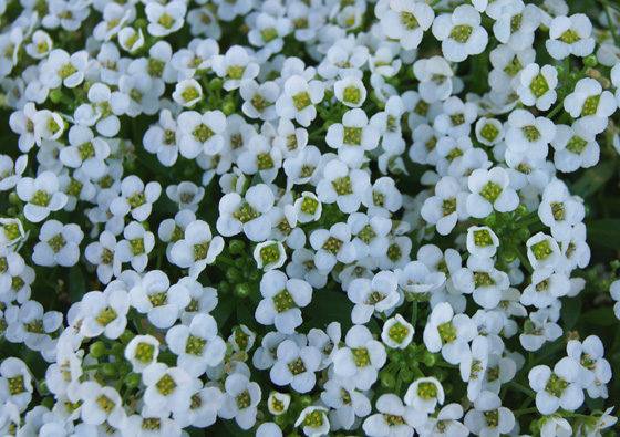 Flores de Alyssum