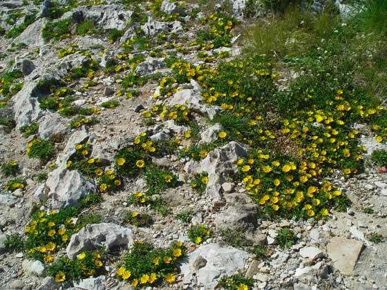 Asteriscus maritimus con flores