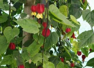 flores abutilon megapotamicum