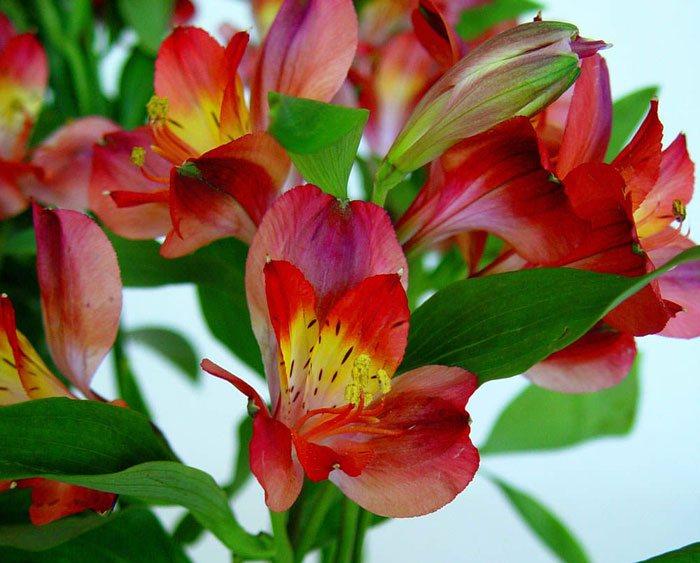 Flores de Alstroemerias