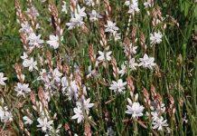 Flores de Asphodelus fistulosus