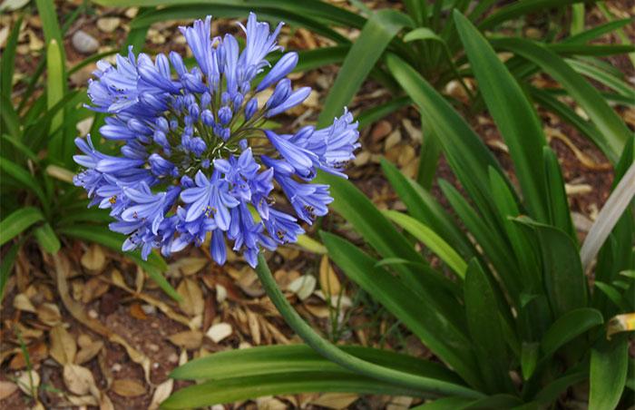 Flores azules de Agapanthus africanus