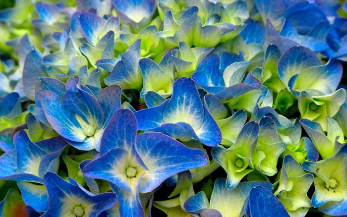 Flores azules de hortensias