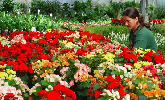 Flores de Begonia elatior