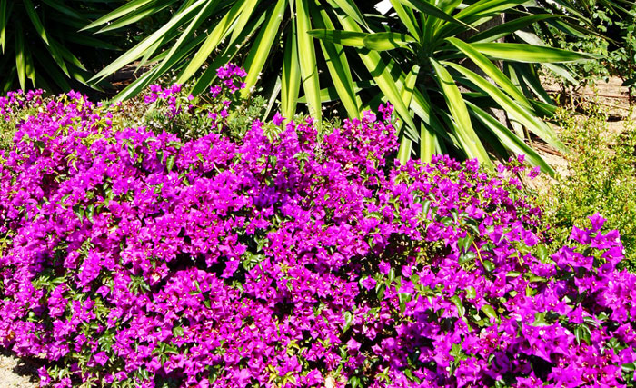Flores de Bougainvillea alexandra