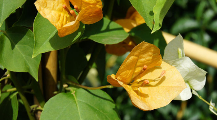 Flores de Bougainvillea spectabilis