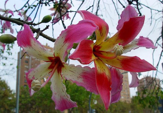 Flores de Chorisia speciosa