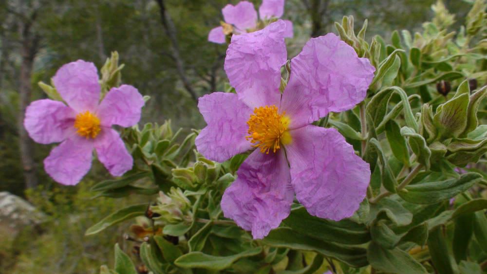 flores cistus albidus