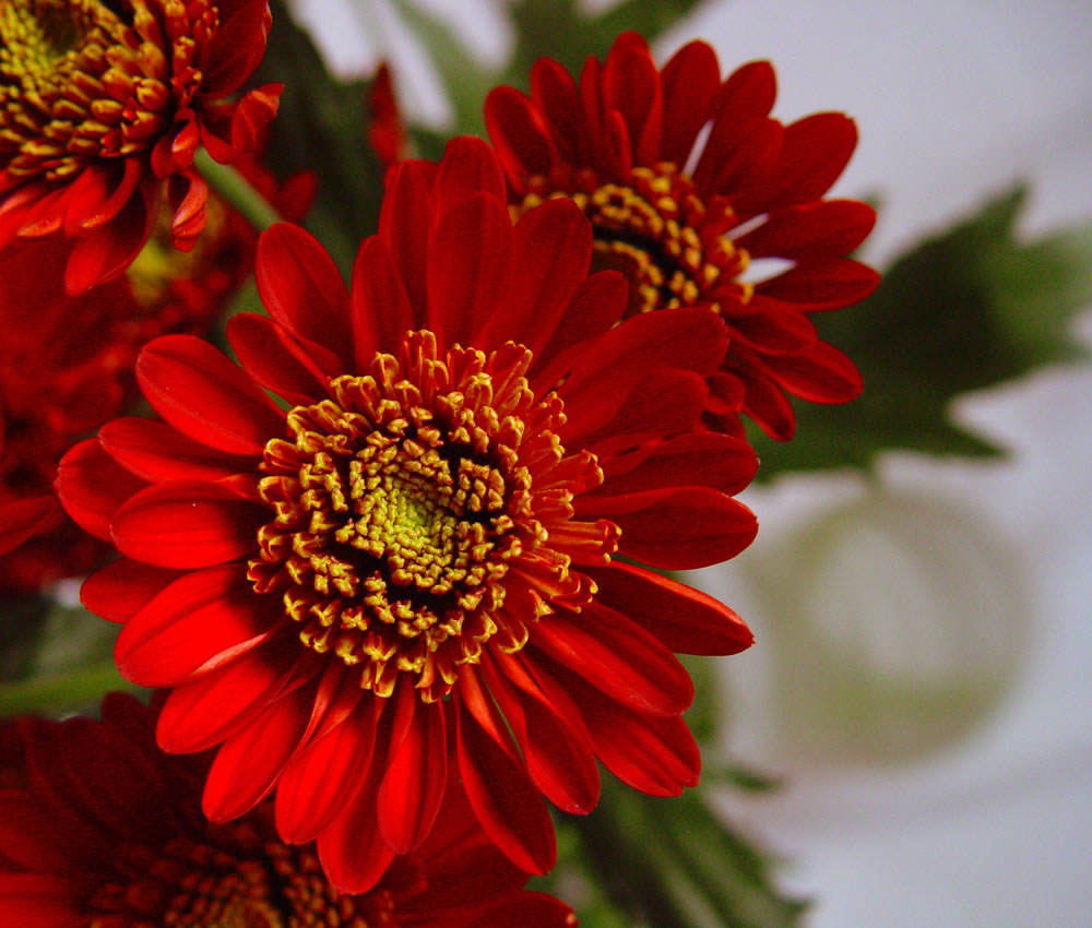 flores crisantemo 2