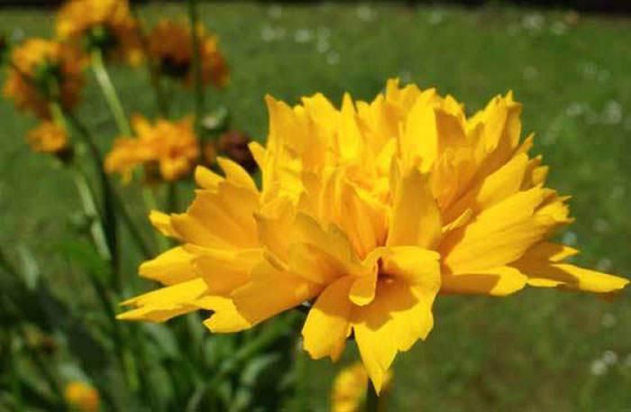 flores de Coreopsis