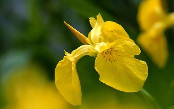 flores de Iris pseudoacorus