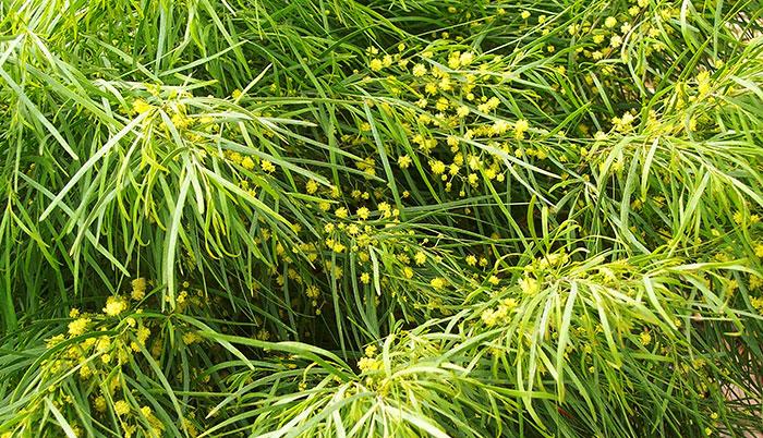 Flores de la Acacia cognata Limelight