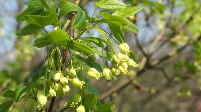 Flores de Acer monspessulanum