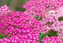 Flores Achillea millefolium