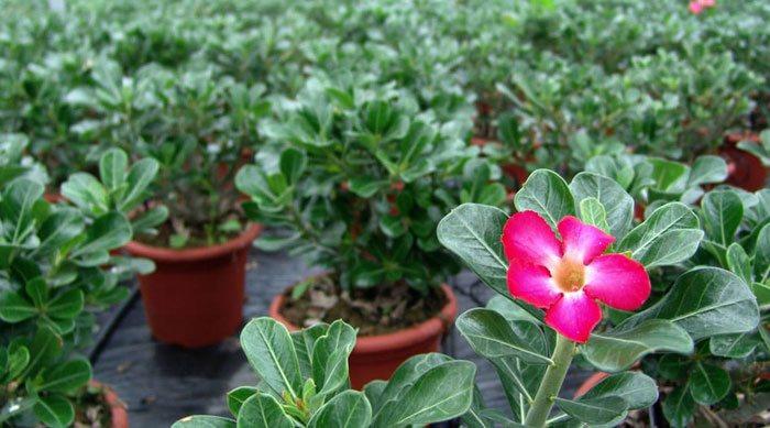 Flores de Adenium obesum