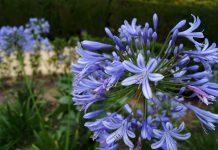 Flores Agapanthus africanus