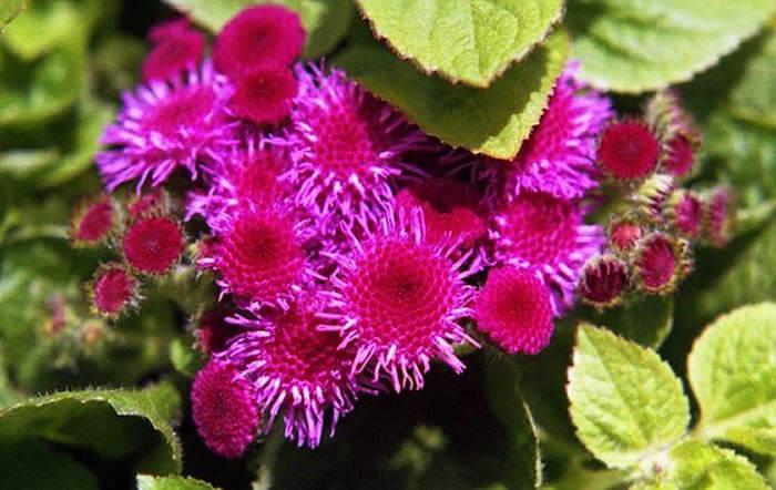 flores de ageratum
